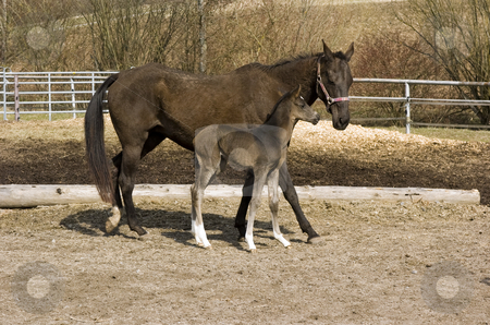Newborn foal with mother stock photo, Newborn foal with mother in paddock by Andreas Brenner