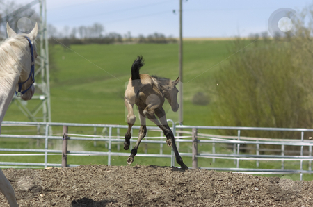 I can fly! stock photo, Akhal-teke foal jumping in paddock while mother is looking at her by Andreas Brenner