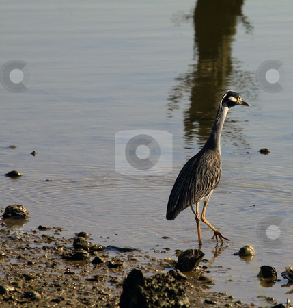 Yellow Crowned Night Heron stock photo, Yellow Crowned Night Heron standing in the mud at the edge of a marsh by Marburg