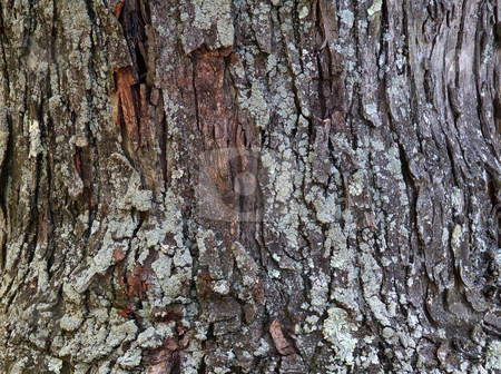 Silver Maple Tree Bark stock photo, Closeup of the furrowed bark on the trunk of a silver maple tree (Acer saccharinum) covered with common green shield lichen (Flavoparmelia caperata). by Kathy Piper