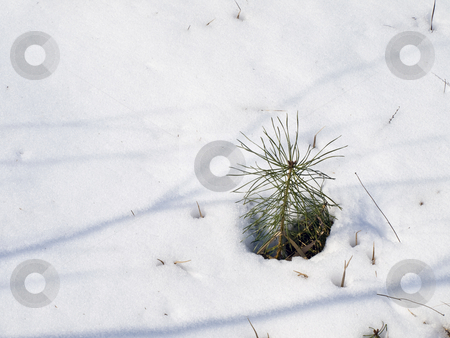 Pine in snow stock photo, Little growing green pine tree in the white snow by Sergej Razvodovskij