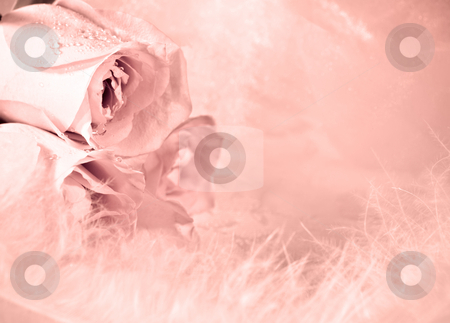 Roses and feathers stock photo, A background of pink roses and feathers. by Norma Cornes