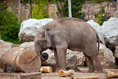 Elephant and log stock photo, A young elephant pushing a log, working in a lumberyard by Norma Cornes