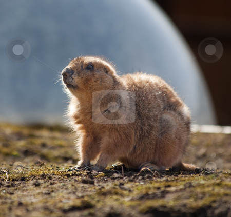 Prairie dog stock photo, A prairie dog lit from the back by Norma Cornes