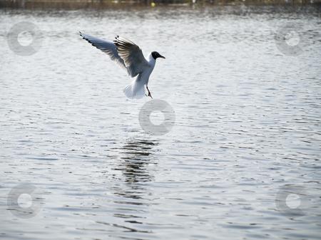Wild seagull  stock photo, Wild seagull flying up under water in nature by Sergej Razvodovskij