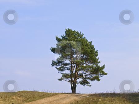 Single pine tree stock photo, Single green pine tree against the blue sky by Sergej Razvodovskij