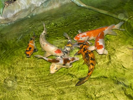 Carps stock photo, Group of carps swimming in the wild nature by Sergej Razvodovskij