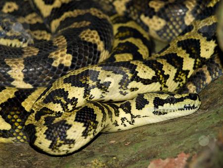 Snake stock photo, Single big toxic snake in the wild nature by Sergej Razvodovskij