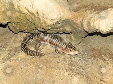Single lizard stock photo, Striped scale lizard in the wild nature at the stone by Sergej Razvodovskij