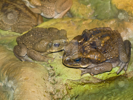Two frogs stock photo, Two big brown frogs in the wild nature by Sergej Razvodovskij