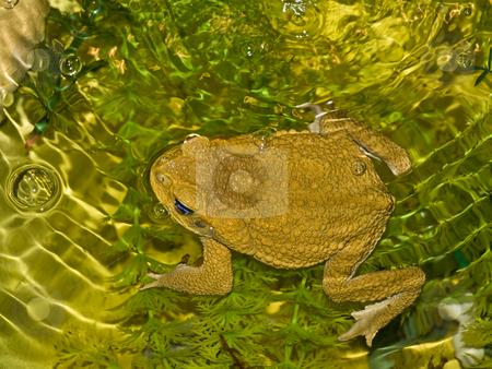 Frog stock photo, Big brown frog swimming in wild nature water by Sergej Razvodovskij