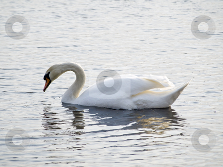 Swan stock photo, Simgle white swan swiming at the lake waves by Sergej Razvodovskij