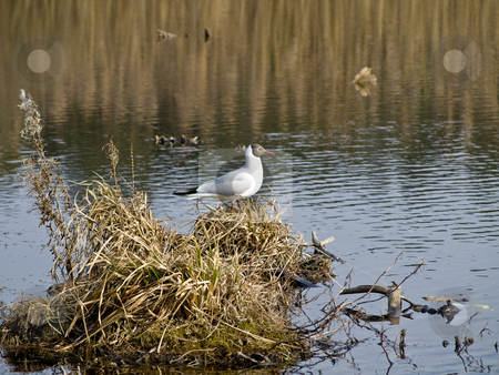 Seagull stock photo, Single seagull in the wildlife with water and bog by Sergej Razvodovskij