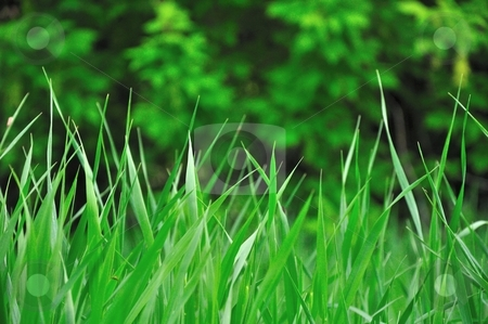 Green Grass and Trees Background stock photo, Green grass and trees stand in a field in the evening light. by Ben O'Neal