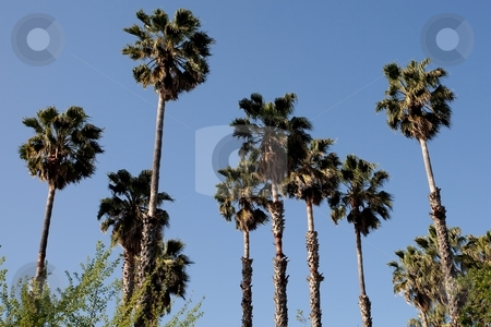Washingtonia filifera stock photo, California Fan Palm (Washingtonia filifera) is a palm native to the desert oases of Central, southern and southwestern Arizona, southern Nevada, extreme northwest Mexico and the inland deserts of Southern California. by Mariusz Jurgielewicz