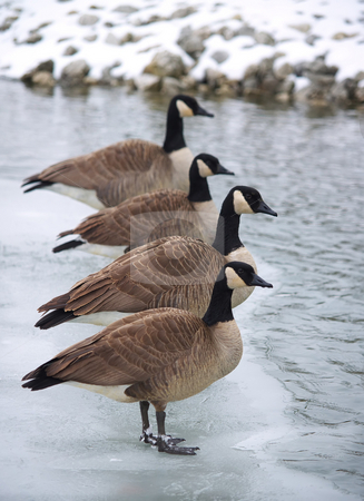 Canadian geese lined up on an ice patch stock photo, Canadian geese standing in line along some ice. by Michelle White
