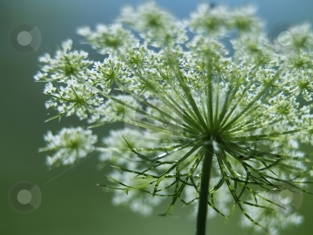 Macro of Queen Anne's Lace stock photo, A close up view of the underside of the wildflower, Queen Anne's Lace by Michelle White