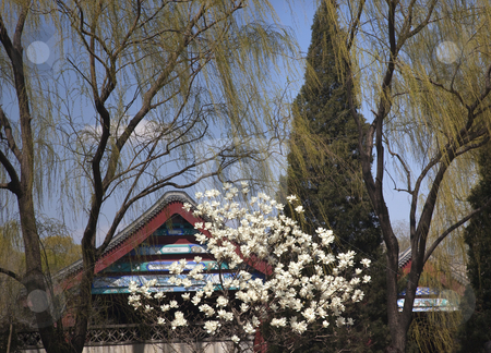 Magnolias Willows Spring Summer Palace Beijing China stock photo, Wite Magnolias Green Willows Spring Summer Palace Beijing China by William Perry