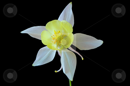 Aquilegia stock photo,  by Manuela Schueler