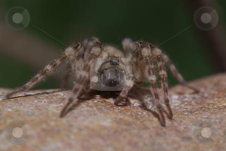 Spider stock photo, Big  frightening spider sitting on brown stone by Jolanta Dabrowska