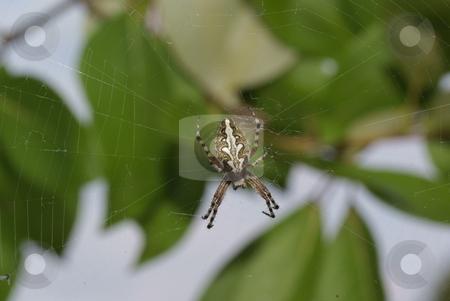 Spider stock photo, Big  frightening spider on cobweb in forest by Jolanta Dabrowska