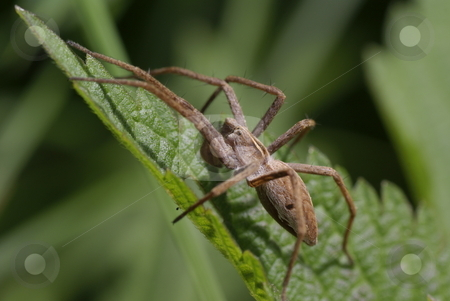 Spider stock photo, Big  frightening spider on green leaf nettle by Jolanta Dabrowska