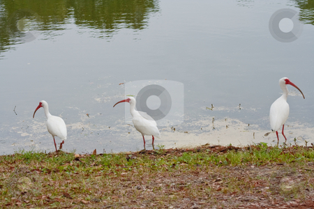 White Ibises stock photo, American White Ibises on the edge of a pond by Thomas Marchessault
