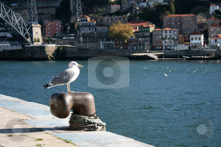 Seagull bird hunting on river stock photo, Seagull bird hunting on river by Marc Torrell