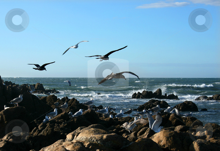 Seagull birds stock photo, Seagull birds hunting on a rock breach by Marc Torrell