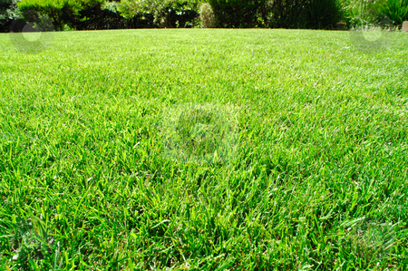 Healthy Green Lawn stock photo, Low view of freshly mowed grass and other plants in the background. by Lynn Bendickson