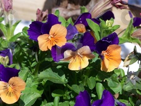 Violas stock photo, Orange sherbert violas by Lee Measures