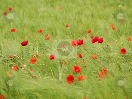 Fresh young barley field stock photo, Fresh green young barley  field with poppies by Laurent Dambies