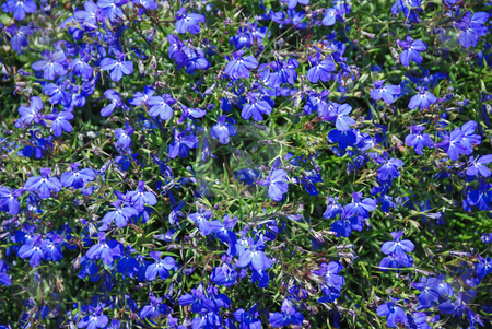 Lobelia erinus Background stock photo, Lobelia erinus blue flower background with sunlight. by Denis Radovanovic