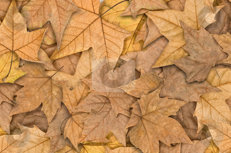 Autumn leaves stock photo, Autumn leaves covering the ground, close up. by Pablo Caridad