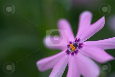 Pink Star Phlox stock photo, Closeup of a Pink Creeping Phlox Bloom by Charles Jetzer