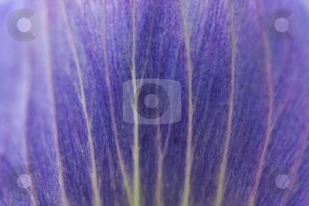 Voilet Petal stock photo, Closeup Violet Anemone Petals by Charles Jetzer