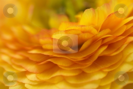 Orange Ruffles stock photo, Closeup of a Ranunculus Bloom by Charles Jetzer