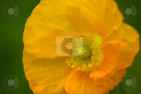 Champagne Orange Star Poppy stock photo, Closeup of a Poppy Bloom by Charles Jetzer