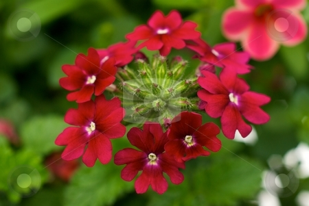 Red Verbena Ring stock photo, Red Ring of Verbena Blooms by Charles Jetzer