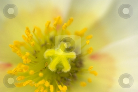 Champagne Yellow Star Poppy stock photo, Closeup of a Poppy Bloom by Charles Jetzer