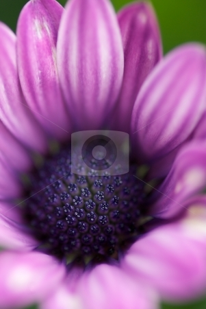 Painted Light Purple Soprano stock photo, Closeup of a Osteospermum Soprano Light Purple Bloom by Charles Jetzer