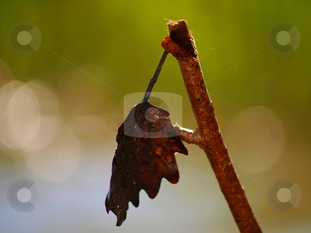 Dead leaf on a branch stock photo, A dead leaf is hanging on a dead branch with fresh green color in the background indicating new life by Arve Bettum