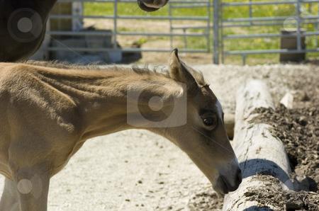 Paula stock photo, Akhal-Teke foal close-up by Andreas Brenner