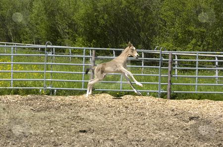 Paula galloping stock photo, Akhal-teke foal galloping by Andreas Brenner