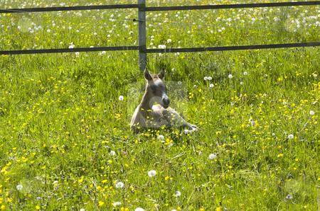 Paula in flowers stock photo, Akhal-Teke foal laying in flowery meadow by Andreas Brenner