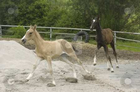 Foals chasing each other stock photo, Two Akhal-Teke foals chasing each other in paddock, motion blur by Andreas Brenner
