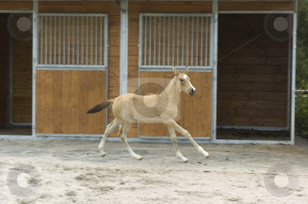 Paula stable stock photo, Akhal-Teke foal in front of stable boxes,motion blurred background by Andreas Brenner