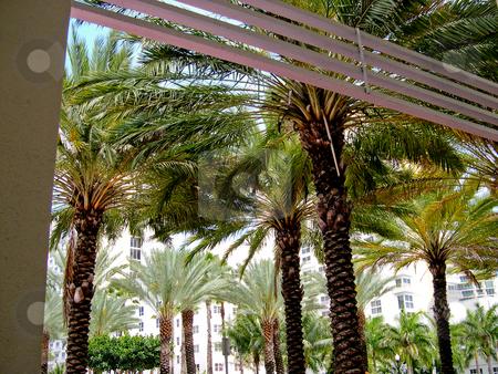 Palm trees stock photo, Palm trees in Miami Beach by Jaime Pharr