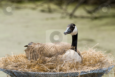 Canada Goose stock photo, A canada goose sitting in a man made nest by Richard Nelson