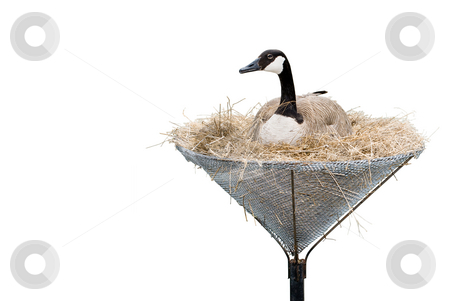 Isolated Canada Goose stock photo, A canada goose lying in a man made nest isolated against a white background by Richard Nelson